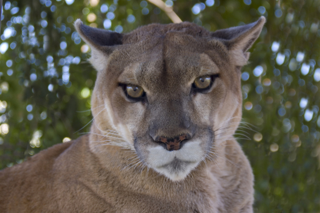mountain-lion-1370392-639x4241