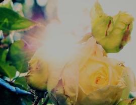 rose-824454_1920 (2)